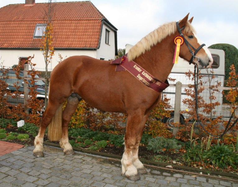 Vlaams Paard Rick van Belle goedgekeurd en Siegerhengst in ... Aandeel Facebook
