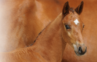 Doorblader de collectie van de Belgian Warmblood Foal Auction