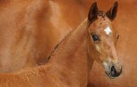 Doorblader de collectie van de Belgian Warmblood Foal Auction